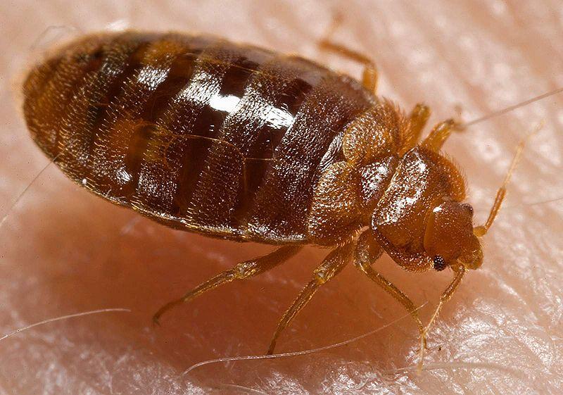 bedbug 2