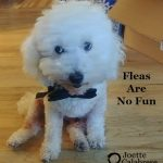 Fleas: A Homeopathic Solution