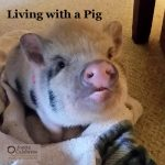 Living with a Pig