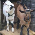 Really Got My Goat