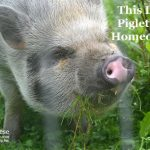 This Little Piglet Had Homeopathy